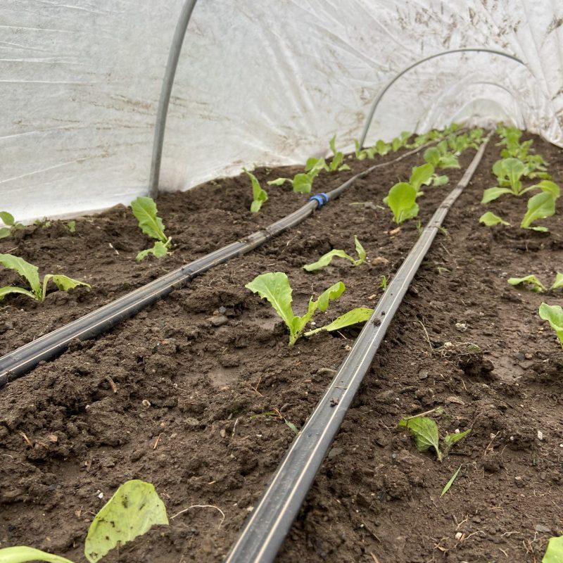 lettuce under remay